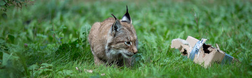 Lynx. Forest wildcat hunting view Royalty Free Stock Image