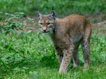 Lynx. Forest wildcat hunting view Royalty Free Stock Photography