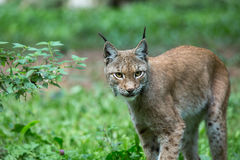 Lynx. Forest wildcat hunting view Royalty Free Stock Images