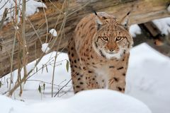 Lynx in forest Royalty Free Stock Photo