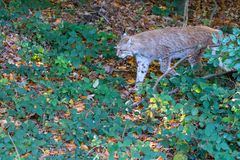 Lynx in the forrest in Germany. Lynx in forrest in Germany Royalty Free Stock Images