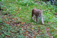 Lynx in the forrest in Germany. Lynx in forrest in Germany Royalty Free Stock Photography