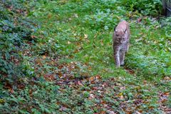 Lynx in the forrest in Germany. Lynx in forrest in Germany Royalty Free Stock Image