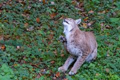 Lynx in the forrest in Germany. Lynx in forrest in Germany Stock Photography