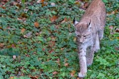 Lynx in the forrest in Germany. Lynx in forrest in Germany Stock Image