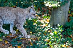 Lynx in the forrest in Germany. Lynx in forrest in Germany Stock Images