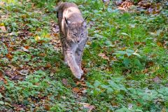Lynx in the forrest in Germany. Lynx in forrest in Germany Stock Photos