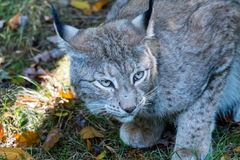 Lynx in the forrest in Germany. Lynx in forrest in Germany Royalty Free Stock Photo