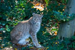 Lynx in the forrest in Germany. Lynx in forrest in Germany Royalty Free Stock Photos