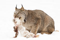 Lynx with freshly killed snow shoe hare. In winter royalty free stock photography