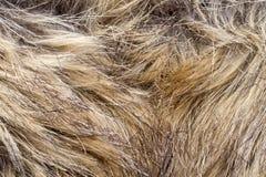 Lynx fur. Background of lynx fur closeup Stock Image