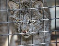 Lynx in gabbia Fotografie Stock
