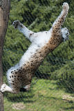 Lynx in Gaiazoo Royalty-vrije Stock Foto's