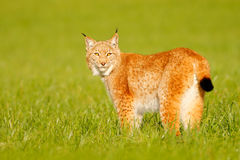 Lynx in the grass with evening sun. Wildlife scene with cat from Europe. Wild cat Lynx in the nature meadow habitat. Eurasian Lynx. Germany Stock Photos