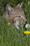 Lynx in the grass Stock Photo