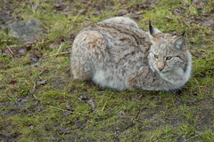 Lynx in the grass Royalty Free Stock Image