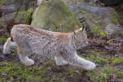 Lynx in the grass Royalty Free Stock Photography