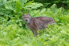 Lynx in groene varens Royalty-vrije Stock Foto's