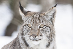 Lynx head Royalty Free Stock Photography