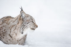 Lynx Head in Profile Stock Image