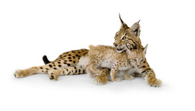 Lynx and her cub. Lynx (2 years) and her cub (2 months) in front of a white background Royalty Free Stock Images