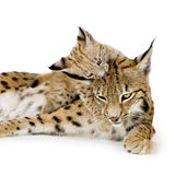 Lynx and her cub. Lynx (2 years) and her cub (2 months) in front of a white background Royalty Free Stock Photography