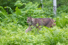 Lynx het besluipen in groene varens Stock Foto