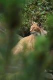 Lynx in het bos Stock Fotografie
