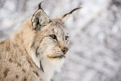 Lynx in het bos Stock Afbeelding