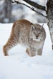 Lynx het heimelijk nemen in het bos Stock Foto's