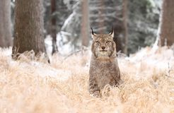 Lynx het kijken Royalty-vrije Stock Afbeeldingen