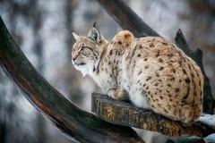 Lynx het letten op voor prooi Royalty-vrije Stock Foto's