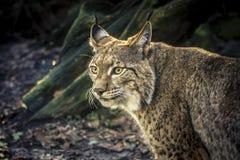 Lynx het staren royalty-vrije stock foto's