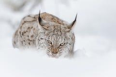 Lynx het voeden Stock Afbeeldingen