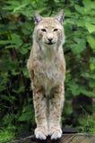 Lynx - het Vrouwelijke Europese Lynx Stellen Stock Afbeeldingen
