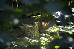 Lynx hidden in forest. stock photography