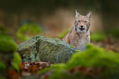 Lynx hidden in the green stone in forest. Lynx, Eurasian wild cat walking. Beautiful animal in the nature habitat, Sweden. Lynx cl Royalty Free Stock Photo