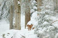 Lynx hidden in snow forest. Eurasian Lynx in winter habitat. Wildlife scene from Czech nature. Snowy cat in nature. Lynx in nature. Lynx in snow forest. Eurasian Royalty Free Stock Image