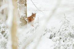 Lynx hidden snow forest. Eurasian Lynx winter. Wildlife scene from Czech nature. Snowy cat in nature habitat. Mother with young, w. Lynx in snow forest. Eurasian Royalty Free Stock Photography