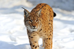 Lynx in hun Stock Fotografie