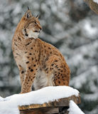 Lynx in hun Royalty-vrije Stock Afbeelding