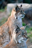 Lynx on the hunt. A pair of Lynxes survey the hunting situation Stock Photos