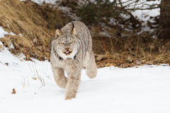 Lynx on hunt for prey. In winter Stock Photos