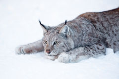 Lynx hunting. Eurasian lynx ready to attack in the snow Stock Photo