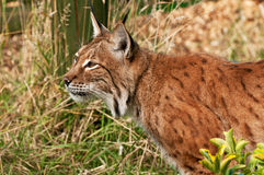 Lynx hunting in long grass Stock Image
