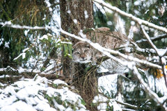 Lynx Hunting in a Winter Forest Stock Images