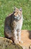 Lynx ibérien Photo libre de droits