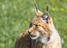 Lynx ibérien Photographie stock