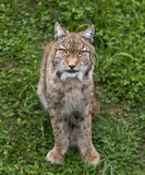 Lynx ibérien Image stock