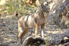 Lynx ibérien sur la position vigilante Photographie stock libre de droits
